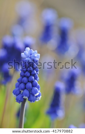 Muscari flowers close up in garden.