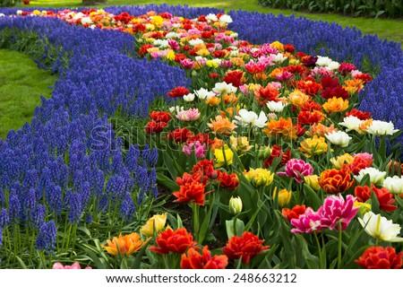Muscari flowers in holland garden Keukenhof, Netherlands - stock photo