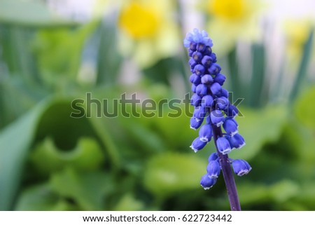 Muscari in the garden. Spring background.