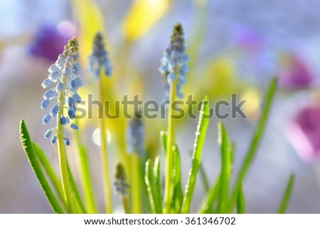 Muscari neglectum flowers in the spring garden - stock photo