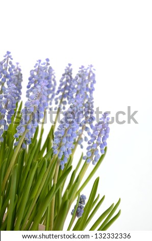 Muscari on a white background