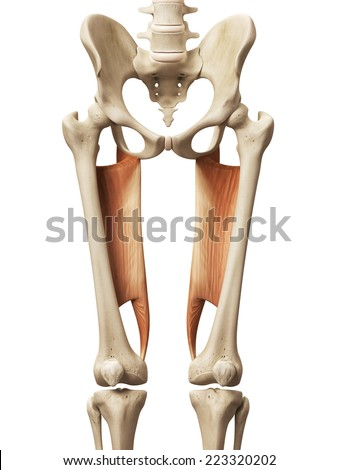 muscle anatomy - the abductor magnus - stock photo