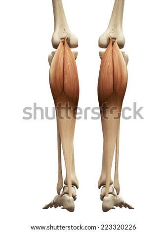 muscle anatomy - the gastrocnemius - stock photo