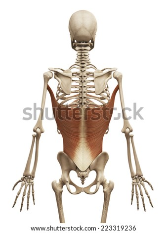 muscle anatomy - the latissimus dorsi - stock photo