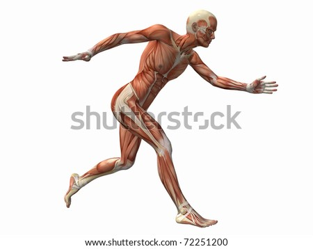 muscle man , male Human Body Anatomy