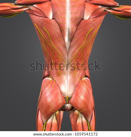 Muscles Anatomy Nerves Posterior View 3 D Stock Illustration
