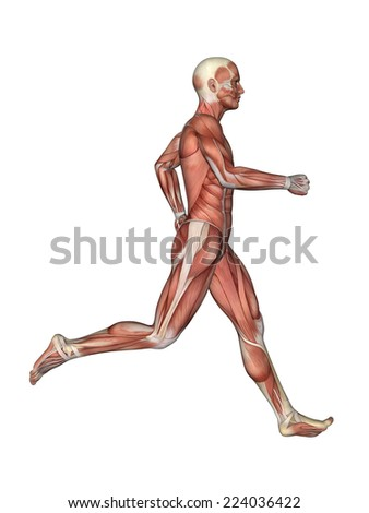 Muscles of Male Anatomy in Motion Featuring male figure in running motion with showcasing major muscular groups such as deltoids, triceps, biceps, quadriceps, hamstrings, obliques and gluteus.    - stock photo