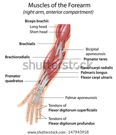 Muscles Forearm Labeled Stock Illustration 147943958 Shutterstock