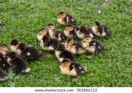 muscovy duck chickens close up - stock photo