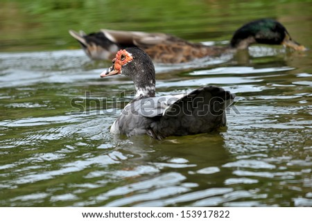 Muscovy Duck is a tropical bird, it adapts well to cooler climates. - stock photo