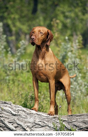 muscular Hungarian Vizsla dog posing outdoors - stock photo