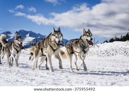 musher dogteam driver and Siberian husky at snow winter competition race in forest - stock photo