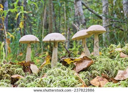 Mushroom ( birch boletus, Leccidium scabrum) in autumnal forest - stock photo