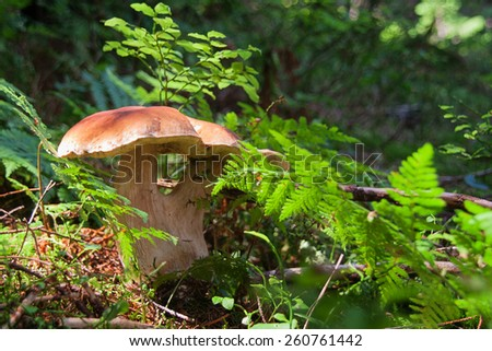 mushroom boletus or cep in the forest - stock photo