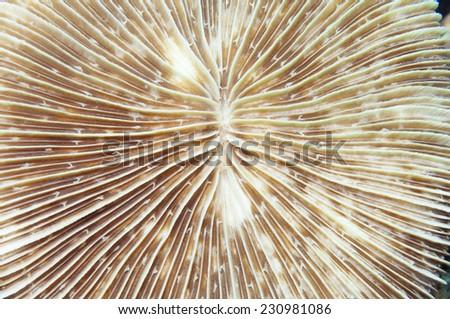 Mushroom coral (Fungia sp.) - stock photo