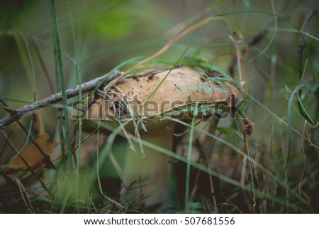 Mushroom grows in the forest, boletus close up