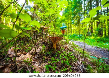 Mushroom in forest with  walking tourist on a background. Small