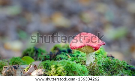 Mushroom Kingdom . Picture of a wildlife forest mushroom in the woods of Bavaria in Germany in fall. Picture was taken on a warm September day. - stock photo