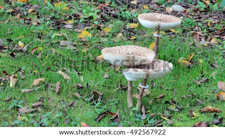 mushroom macrolepiota procera, Giant parasol in the forest