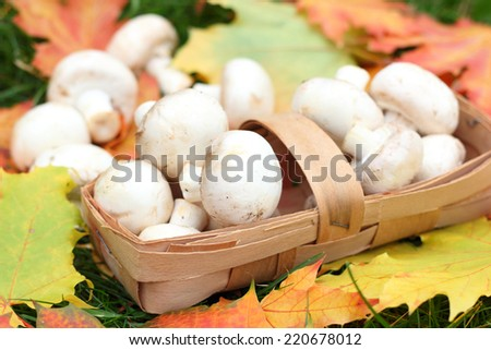 mushroom maple autumn harvest - stock photo