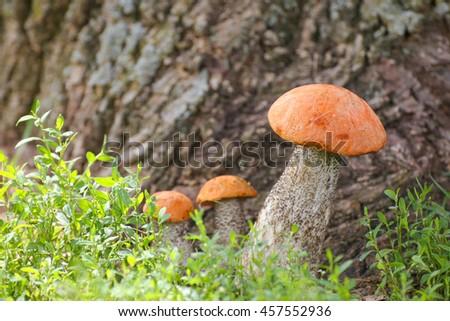 Mushroom orange-cap boletus - stock photo