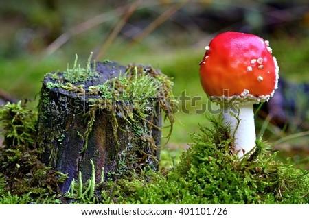 Mushroom. Poisonous mushroom. Mushroom Amanita muscaria - growing in moss. Poisonous mushroom in  forest. Fly amanita - Amanita Muscaria - a beautiful but poisonous mushroom. - stock photo