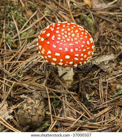 Mushroom toadstool in the forest.