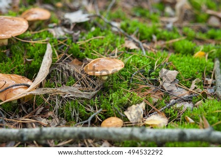 Mushroom with a light hat in the fallen-down foliage. Close up, small depth of sharpness