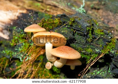 Mushrooms (Cortinarius triumphans) on an old tree trunk