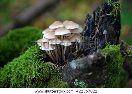 Mushrooms false honey fungus on stump - stock photo