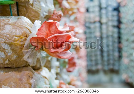 Mushrooms growing in farm, mushroom is an agriculture plant - stock photo