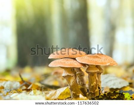 Mushrooms honey agarics autumn ( Armillariella mellea) - stock photo