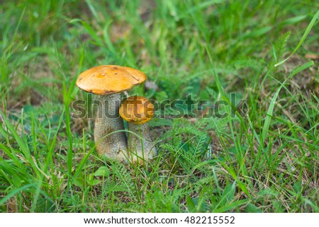 Mushrooms in green grass on a lawn