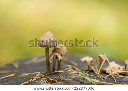 Mushrooms on old stump - stock photo