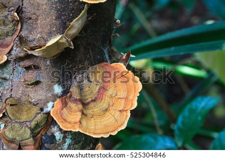 "Mushrooms science names ""Polyporaceae"" on wood in the forest at KHAO YAI national park, Thailand, closeup"