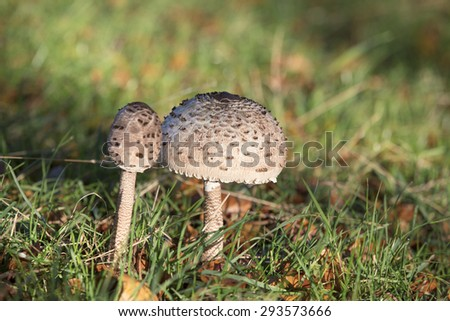 Mushrooms, shaggy parasol growing in a field  - stock photo