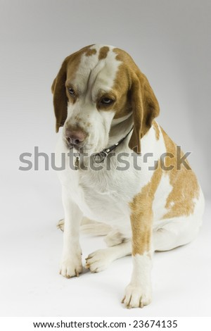 Musing Beagle - stock photo