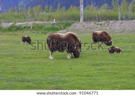 Musk ox - animals of far north
