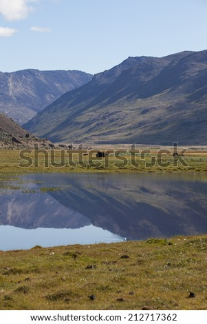 Musk ox by calm reflecting lake in arctic valley, Greenland - stock photo