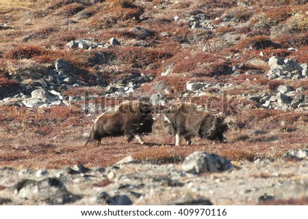 Musk Ox Duel - Greenland - stock photo