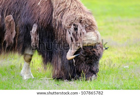musk ox grazing on grass - stock photo