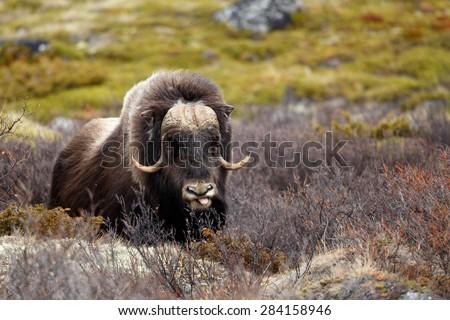 Musk ox in Dovrjefell, Norway - stock photo