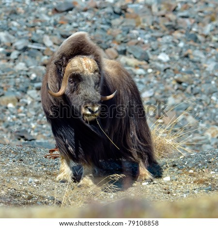 musk ox - Ovibos Moschatus - in natural habitat - stock photo