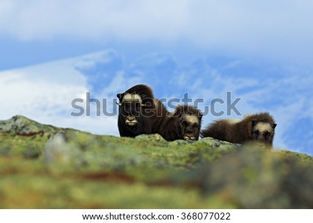 Musk Ox, Ovibos moschatus, three brown animals, females with cub, with snow mountain Snoheta in the background, big animal in the nature habitat, winter scene, Dovrefjell National Park, Norway - stock photo
