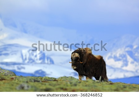 Musk Ox, Ovibos moschatus, with mountain and snow in the background, big animal in the nature habitat, Greenland  - stock photo