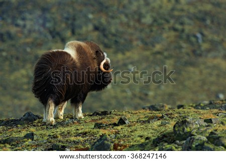 Musk Ox, Ovibos moschatus, with mountain and stone in the background, big animal in the nature habitat, Norway - stock photo