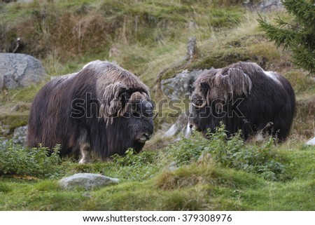 Musk Oxen - stock photo
