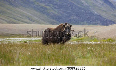 Musk oxen in arctic tundra, Paradise Valley, Greenland - stock photo