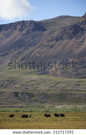 Musk oxen in arctic valley, Greenland - stock photo