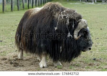 Musk oxen is walking in the farm  - stock photo